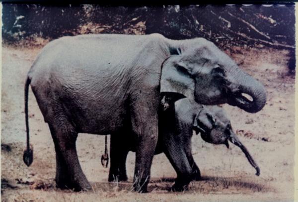 Elefantul Indian